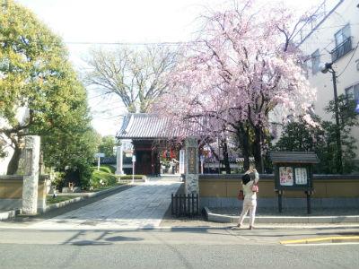 20150406 総持寺しだれ桜3
