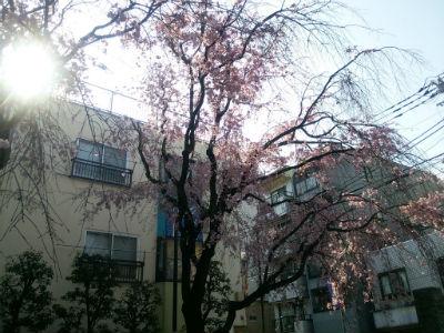 20150406 総持寺しだれ桜5