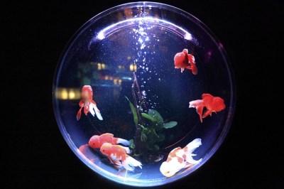 金魚アートアクアリウム