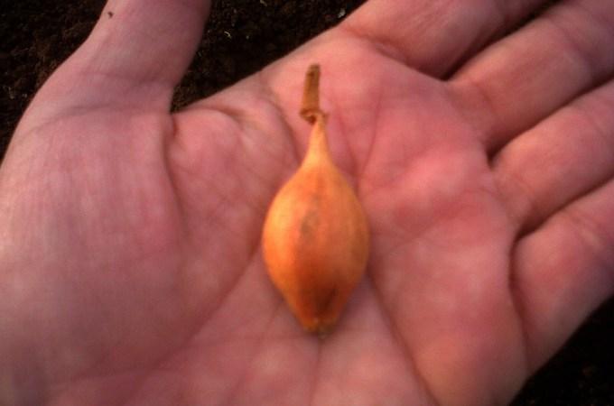 Notizie dall'Orto: Semina delle cipolle e delle fave
