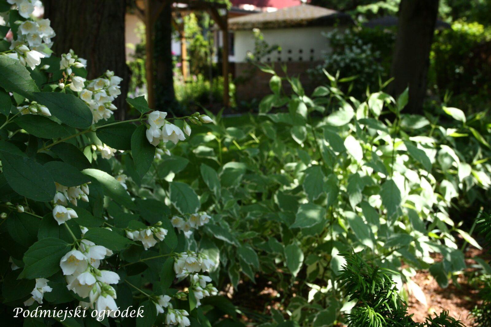 kwitnący jaśminowiec i dereń sibirica variegata
