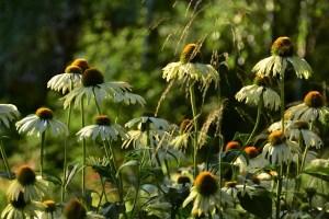 ogród cienisty Izy - lipiec; ogród w cieniu; jeżówka;