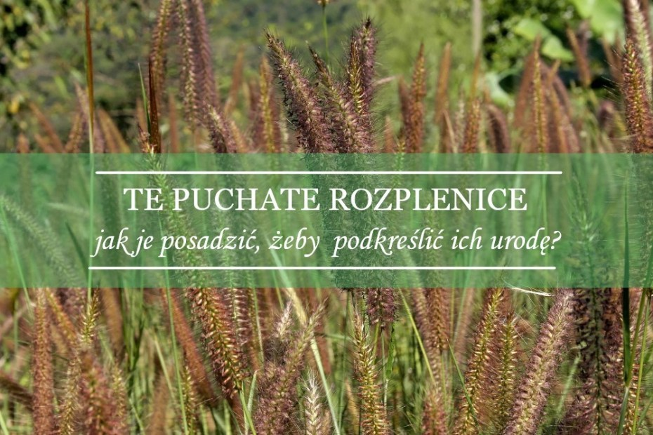 te puchate rozplenice