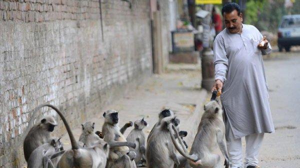 В Индии обезьяны украли из лаборатории пробирки с ...