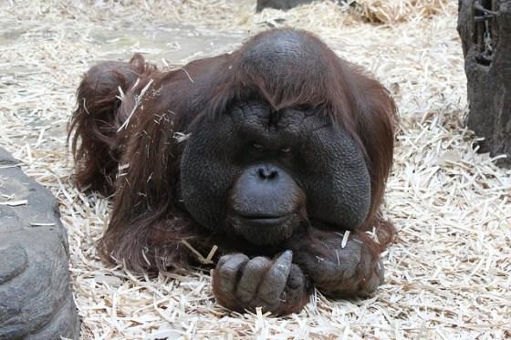 orangutan-808290_640