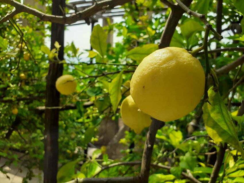 Limonaie - oranżerie wciśnięte między Alpy a jezioro Garda