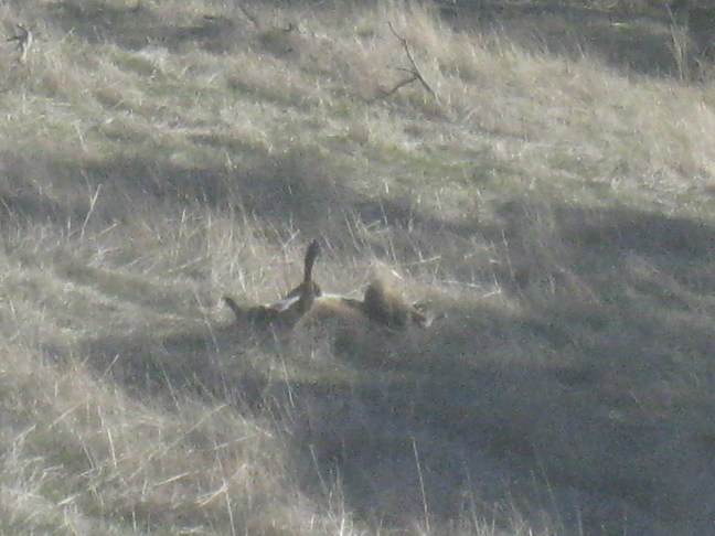 kangaroos at Barossa Pavilions