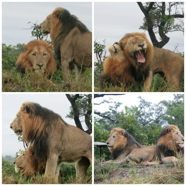 Lion bros 2 Collage.jpg