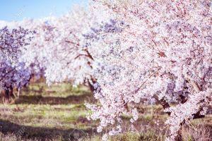 florecen los cerezos