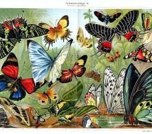 papillons_004_(meyers)
