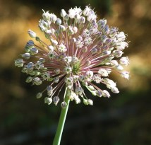 fleur d'oignon sauvage