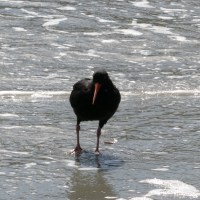 sans parole/wordless : huitrier/oystercatcher