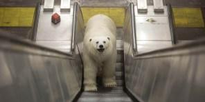 Polar-Bear-in-London3