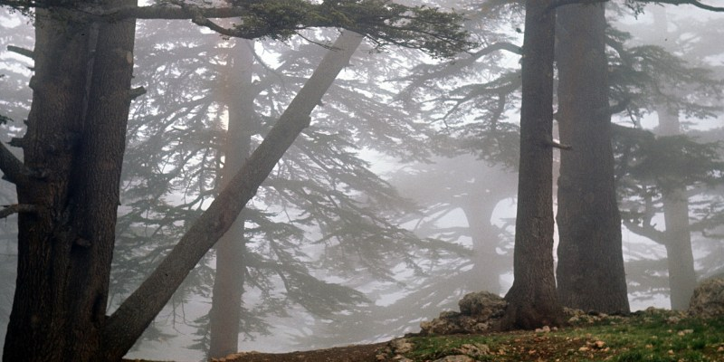Cedars of Lebanon Ted Swedenburg