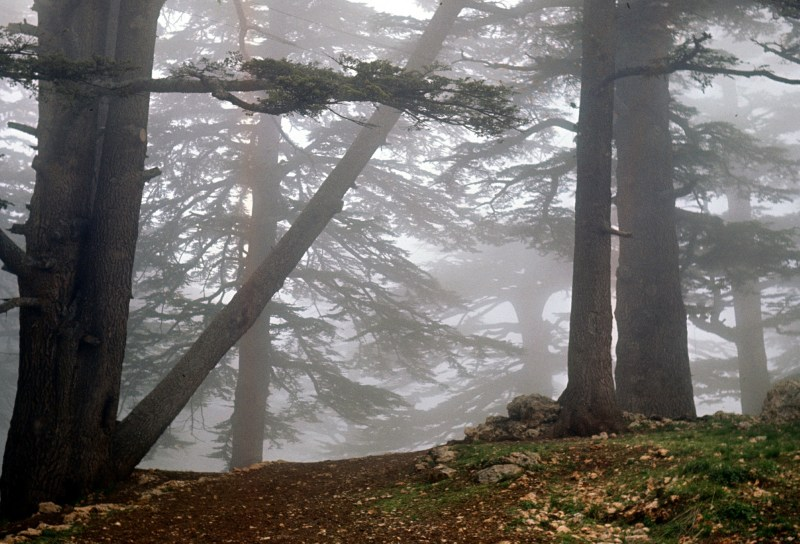 Cedars of Lebanon Ted Swedenburg