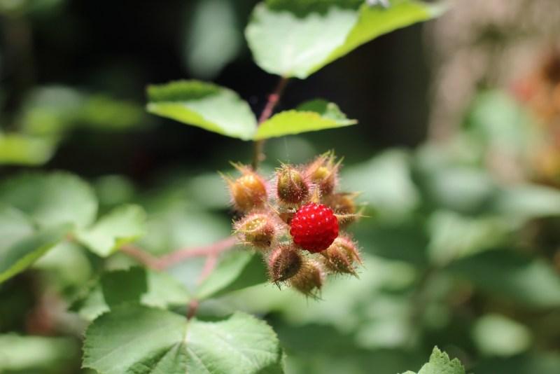 Wineberries-Berry 2