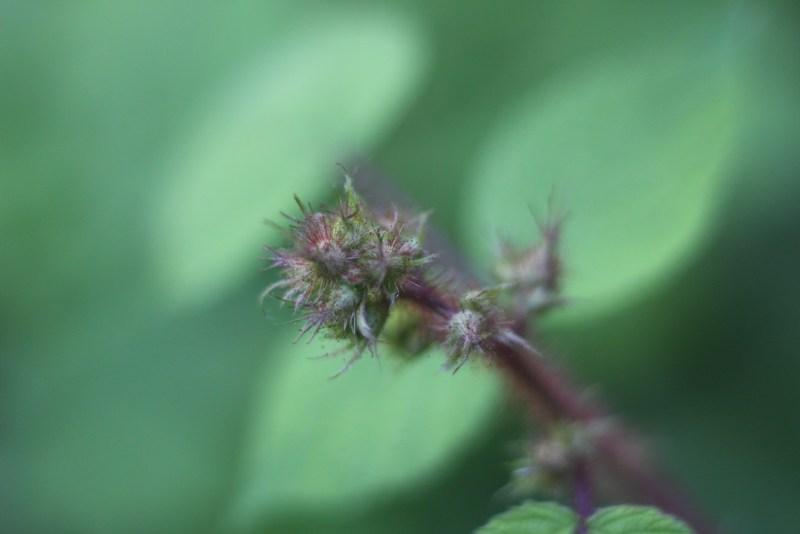 Wineberries -Bud 1