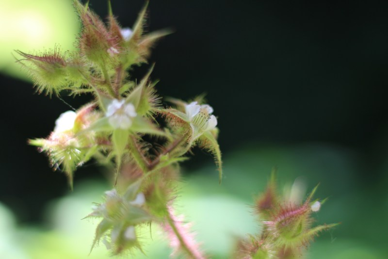 Wineberries-flower 3