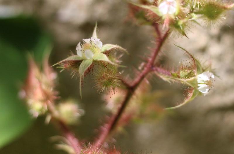 Wineberries in Flower-1