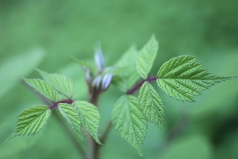 Wineberries in leaf 5