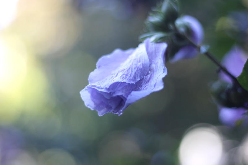 Rose of Sharon-12-Furled Flower After Rain