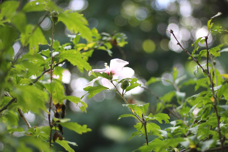 Rose of Sharon-2