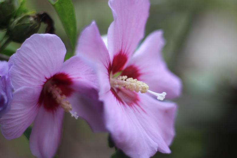 Rose of Sharon-5-hibiscus