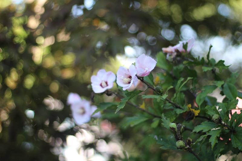 Rose of Sharon-Shrubs With Flower Cluster