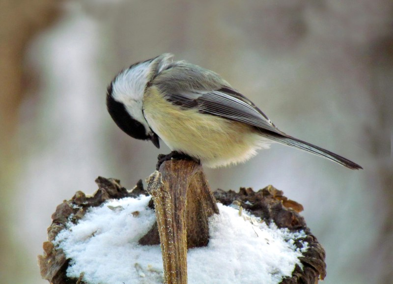 Chickadee-Bowing on Sunflower