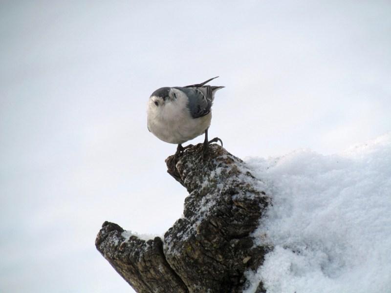 Chickadee-Questioning