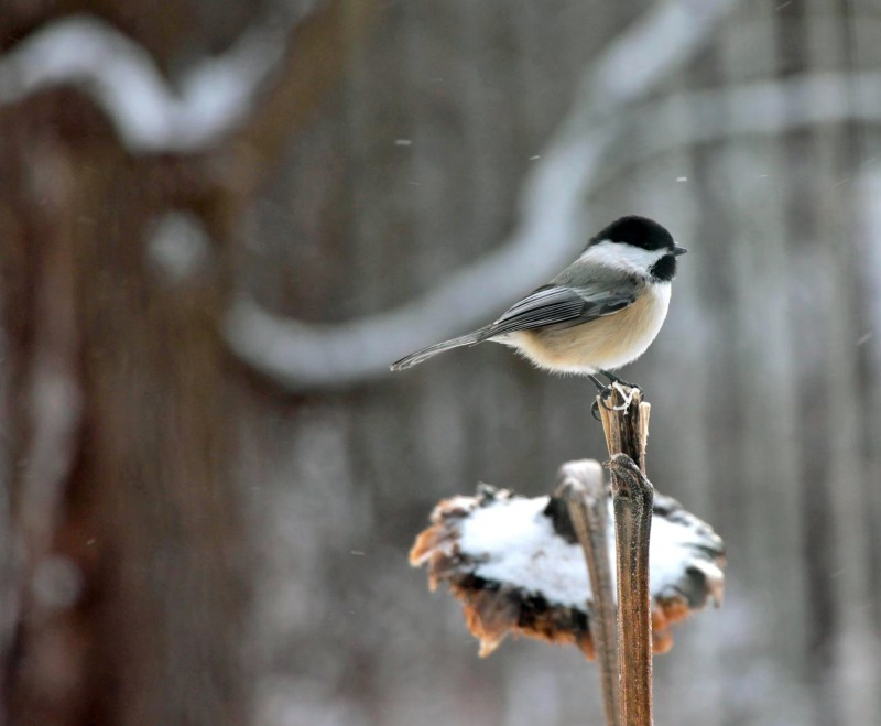 Chickadee-Snow Ride