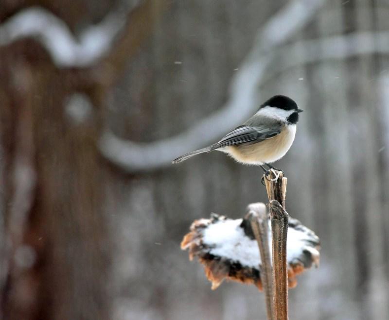 Chickadee-Snow Ride