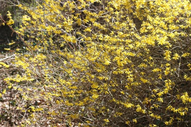 forsythias yellow as an egg yolk