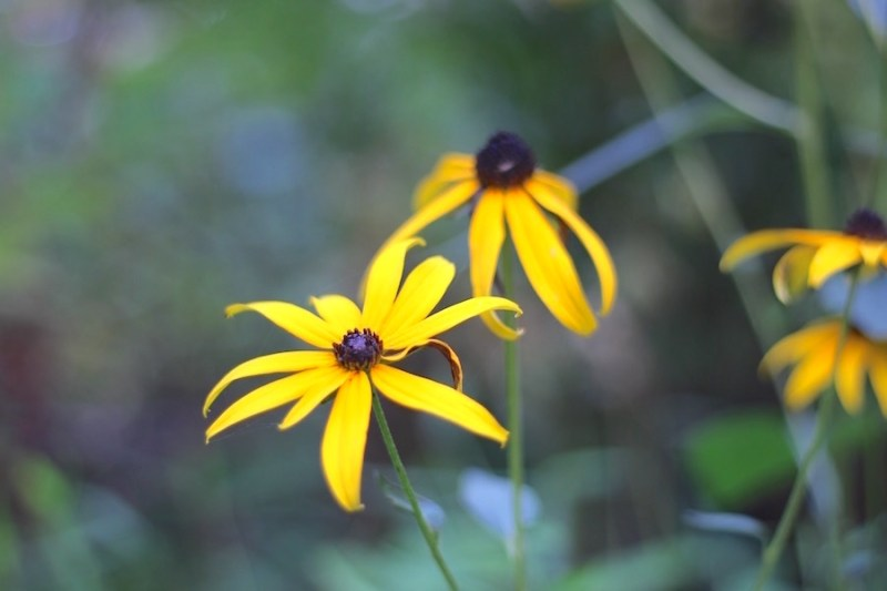 3-Brown Eyed Susan Duet-2