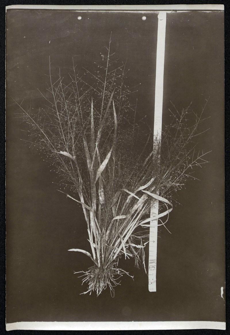 André Goeldi Unidentified botanical specimen (grass)