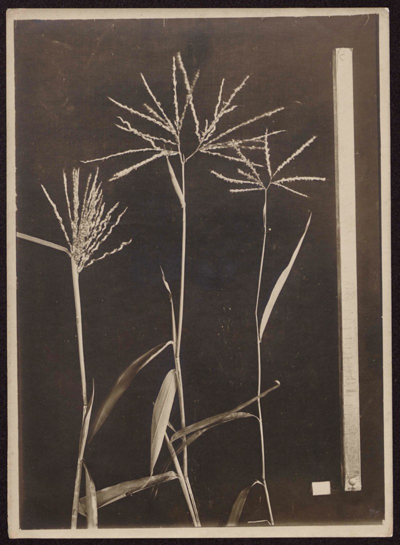 Unidentified botanical specimen (grass) andré goeldi
