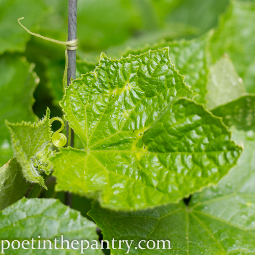 cucumber tendrils