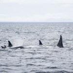 Orcas on an Island Adventures Whale Watching trip from Anacortes, Washington