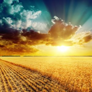 Artistic image of golden sunset against teal sky over golden cornfield