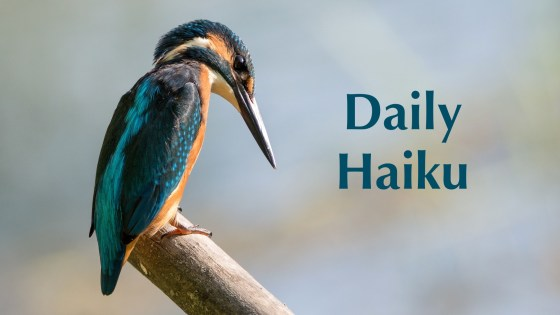 Daily Haiku Kingfisher