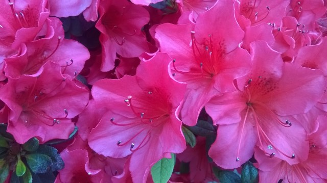 Zoomed picture of pink azalea flowers