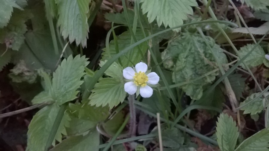 Zoomed picture of two pentagonal strawberry flowers