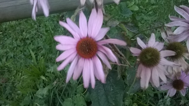 Blurred image of pink echinacea flowers