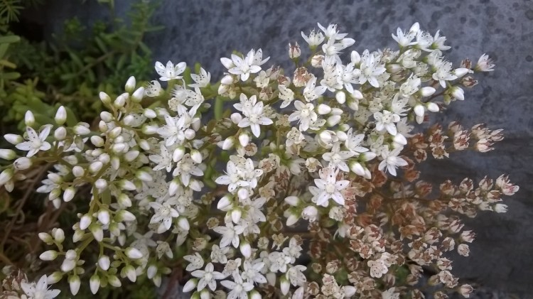 Branch with Tiny white flowers