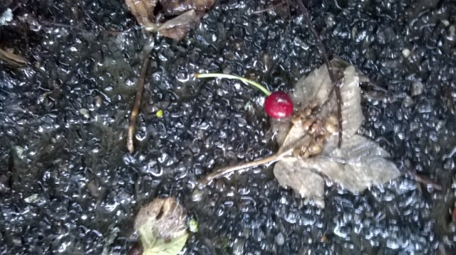 Baby cherry on asphalt floor among dry leaves