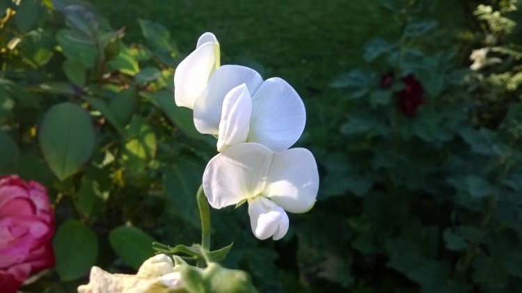 zoomed picture of white pea flower
