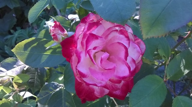 Zoom picture of a White and pink rose flower