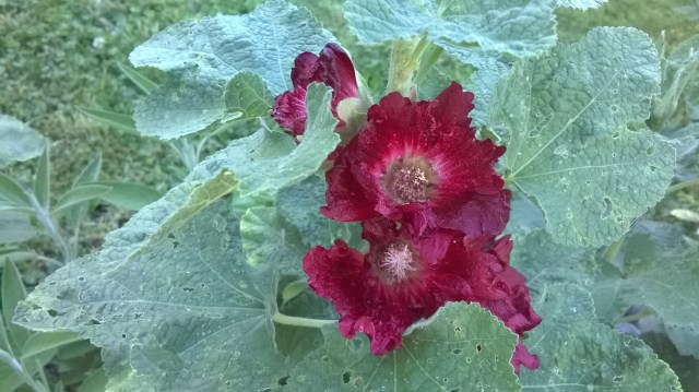 Zoome image of deep red flowers with leaves eaten by bugs