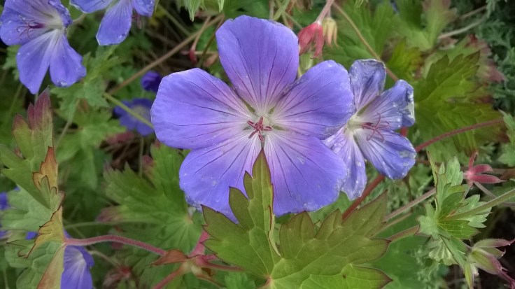 zoomed picture of wild purple linen flower