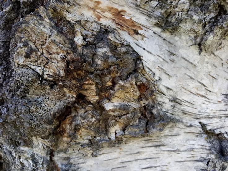 close up photo of  birch trunk